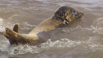 Full recovery for 'worst wound' grey seal