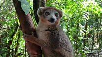 A Madagascar, le triste sort des lémuriens