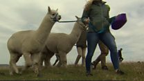Walking with alpacas - the latest form of stress relief