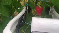 The raspberry picking robot