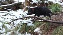 An early Christmas for Tasmanian Devils