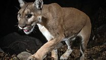 Tracking down LA's elusive mountain lions