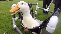 Handmade wheelchair for disabled duck