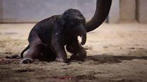 Первые шаги новорожденного слоненка