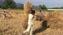 افغانستان کې د غنمو محصولات ډېر شوي