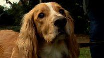 Псу Доджу спасли жизнь благодаря переливанию крови