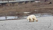 Hungry polar bear roams around Russian factory