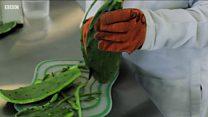 ผลิต 'พลาสติก' จากน้ำกระบองเพชรคั้น