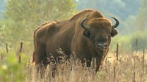 В Беларуси дешевеет охота на краснокнижных зубров. Почему?