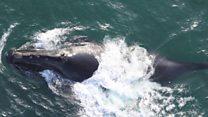 Canto inédito de una ballena franca del Pacífico norte