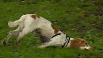 ما الذي يجعل هذا الكلب يسقط أرضا عندما يتحمس أو يخاف؟