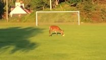 Deer plays football in the Highlands