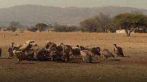 Зашто су угрожени лешинари у Боцвани