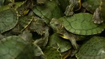 Thousands of turtles seized at Malaysia airport