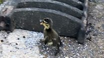 Ducklings rescued from drain