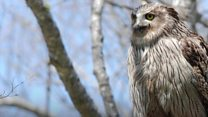 Fujitsu aims to save endangered Blakiston's fish owl