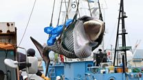 Japan catches first whales after ban lifted