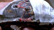 Bra clasps save turtles lives