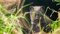 Ten Arctic fox cubs born at Highland Wildlife Park