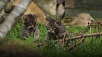 Scottish wildcat kittens born in captivity