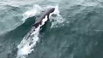 Sunburned dolphin spotted off Ireland