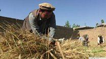 افغانستان: کرنيزې مځکې په کمېدو دي