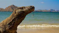 Penutupan Pulau Komodo: Haruskah manusia dipisahkan dari komodo?