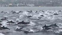 Овако изгледа мега-јато од 100 делфина