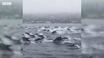 """Як виглядає """"мегазграя"""" дельфінів?"""