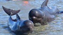 Saat warga bergotong-royong menolong paus yang terdampar