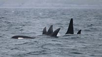 New encounter could be clue to 'mystery' orca pod