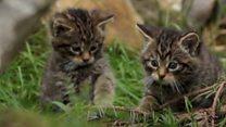 Divlji mačići