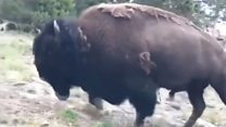 Bison charges at girl in Yellowstone National Park