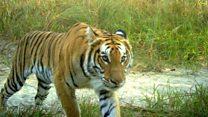 'बाघ संरक्षणमा वासस्थान मुख्य चुनौती'