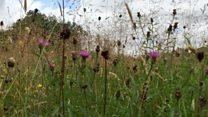 Wild flower meadows being restored