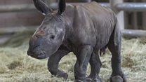 Rhino hope after artificial insemination birth