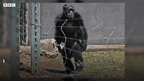 Os chimpanzés que caminham como humanos após anos de maus-tratos