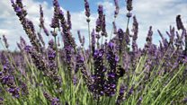 Somerset lavender farm is blooming