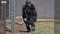 Чому шимпанзе стоять на ногах?