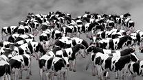 Глобальне потепління: до чого тут корови й рис?