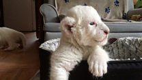 Во Франции родились редкие белые львята