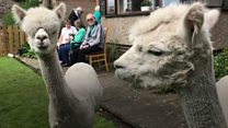John and David the alpacas join retirement home