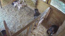 Focus on Farming - Pygmy Goats