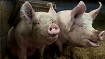 3D scanner detects pigs' emotions