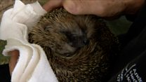 'We didn't think our hedgehog would come back'