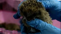 Spike in call-outs to save hedgehogs
