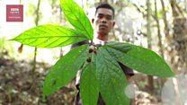 Sengkubak, mecin alami dari Kalimantan