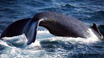 クジラ肉よりホエールウォッチング? 小笠原群島の変遷