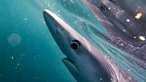 Shark filmed off Cornish coast