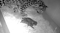'Critically-endangered' leopard cubs born at zoo